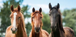 Three young horses