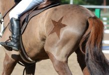 Body clipped horse with a star decoration