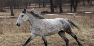 Curly horse cantering