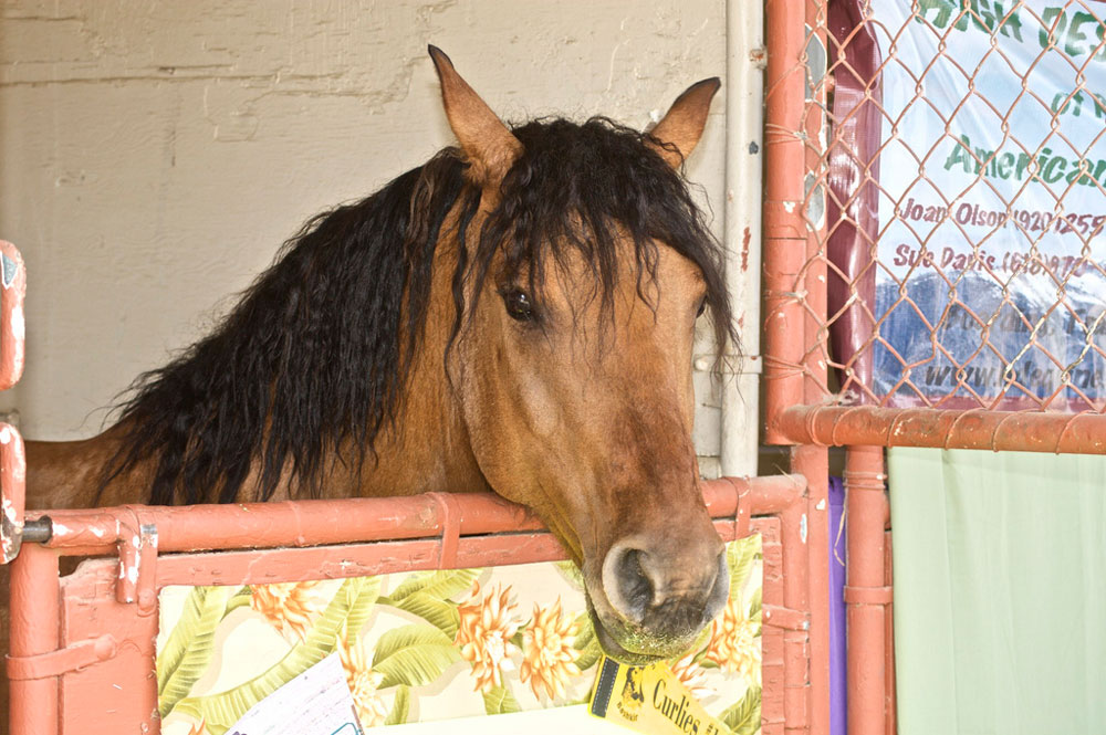 Curly horse in a stall