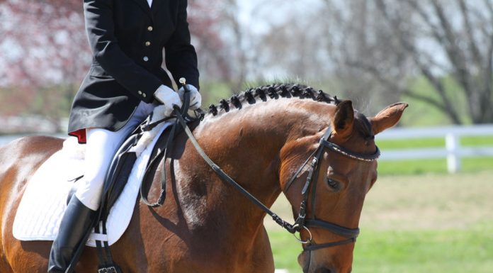 Closeup of a dressage horse in a flash bridle