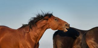 Horse biting in a herd