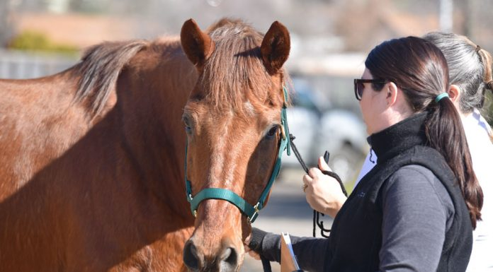Volunteer working with a surrendered horse