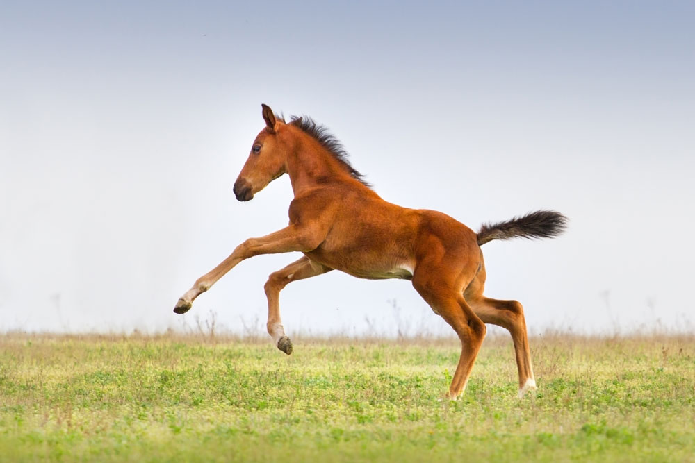 Frolicking foal