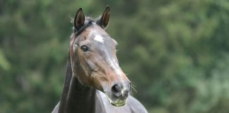Senior horse with alert expression