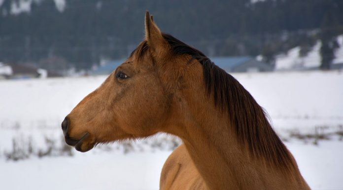 Buckskin horse in the snow