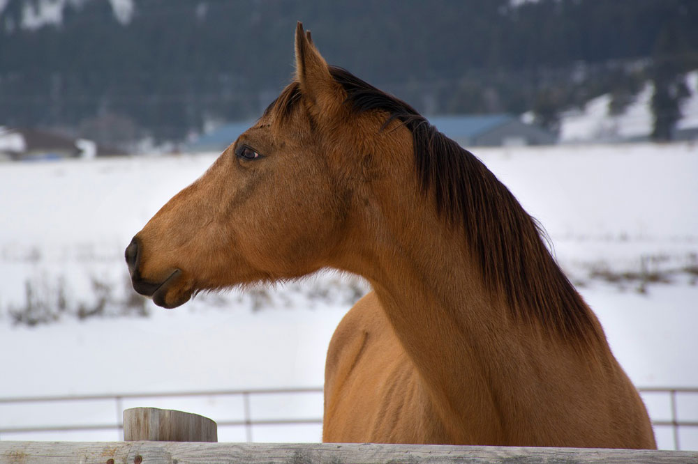 Buckskin horse in the snow