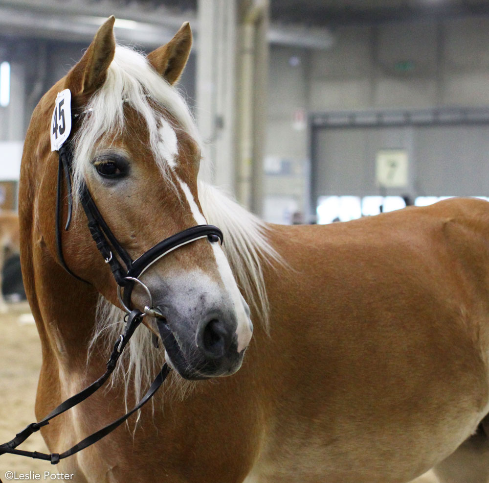 Haflinger horse being shown in-hand