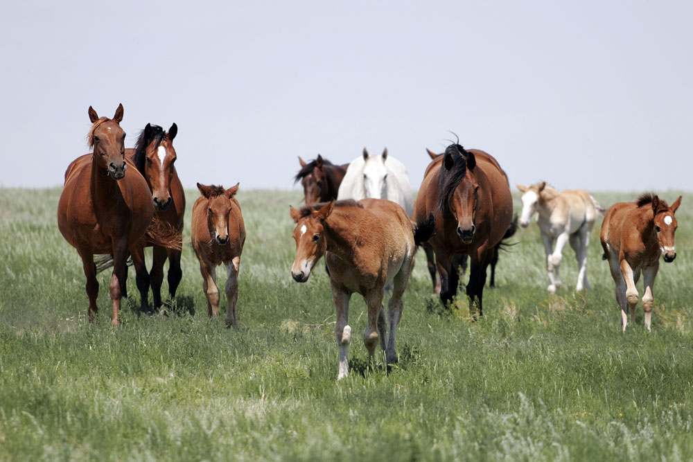 Herd of mares and foals