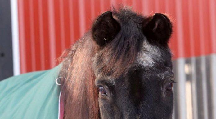 Senior horse wearing a turnout blanket