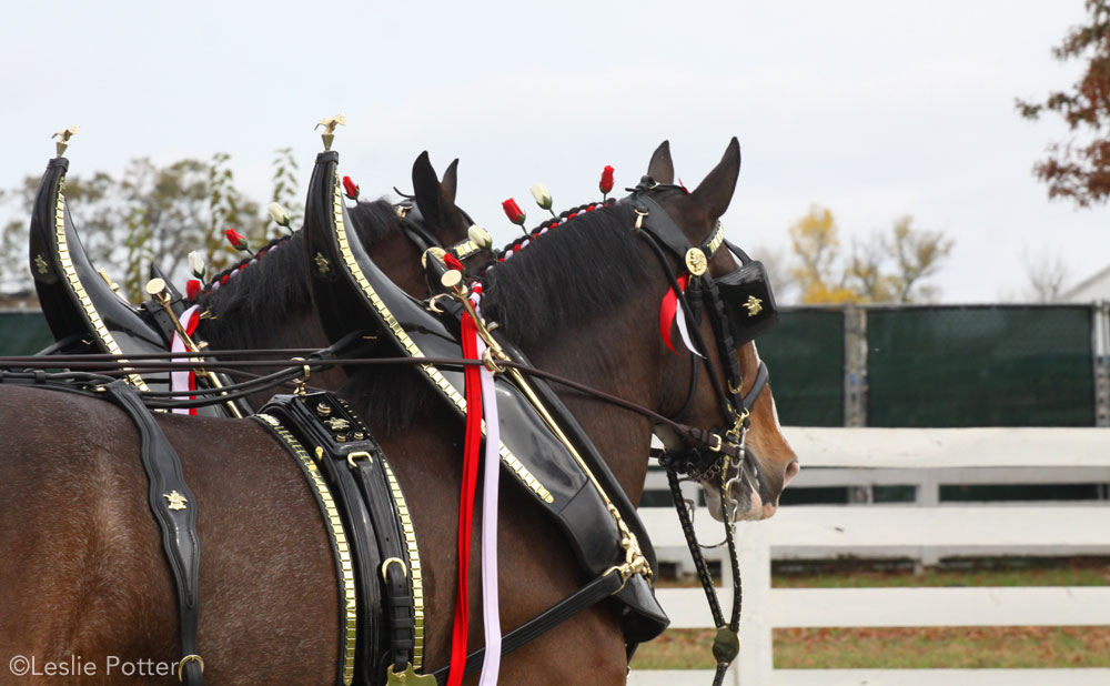 Budweiser Clydesdales at the Kentucky Horse Park