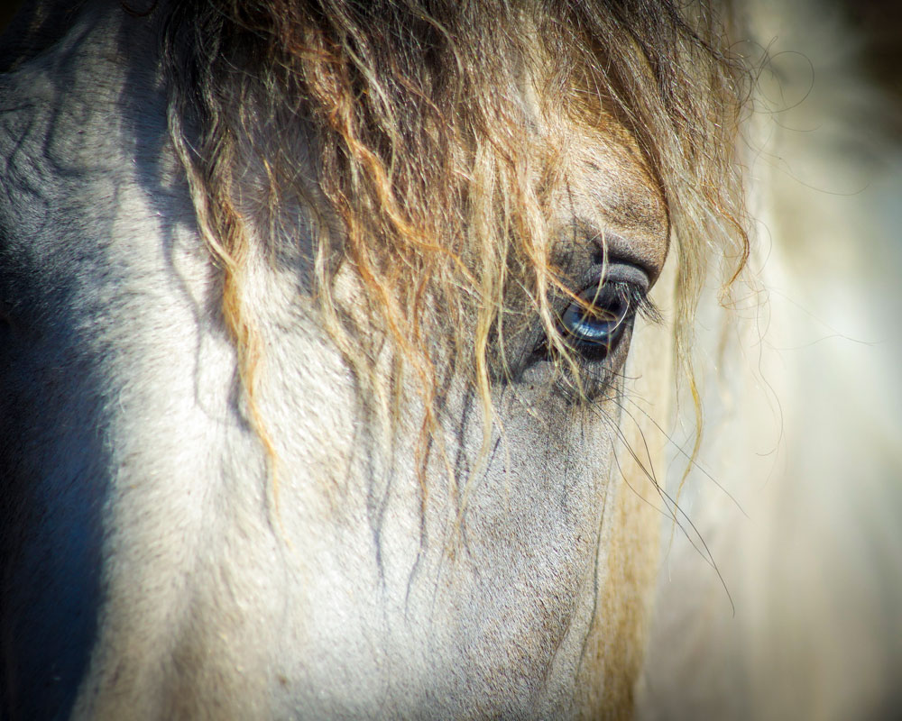 Curly horse forelock