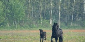 Fell Pony mare and foal