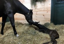 Foal patrol cameras capturing a Thoroughbred mare and newborn foal