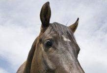 Closeup of a horse eating grass
