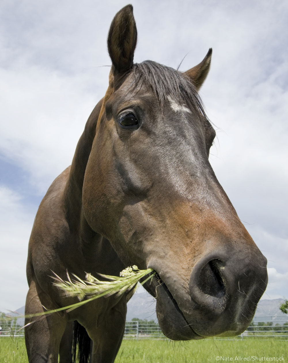 Closeup of a horse eating grass