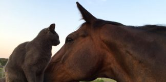Horse with barn cat