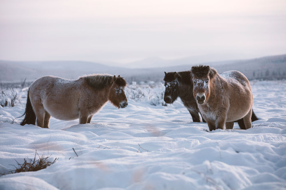 Yakutian Horses from the Nature episode Equus