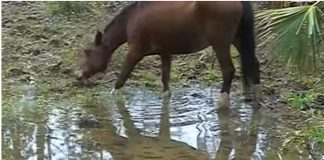 Abaco Barb horse video screenshot