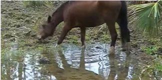 Abaco Barb horse video screenshot