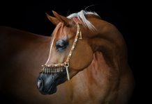 Chestnut Arabian horse on a black background