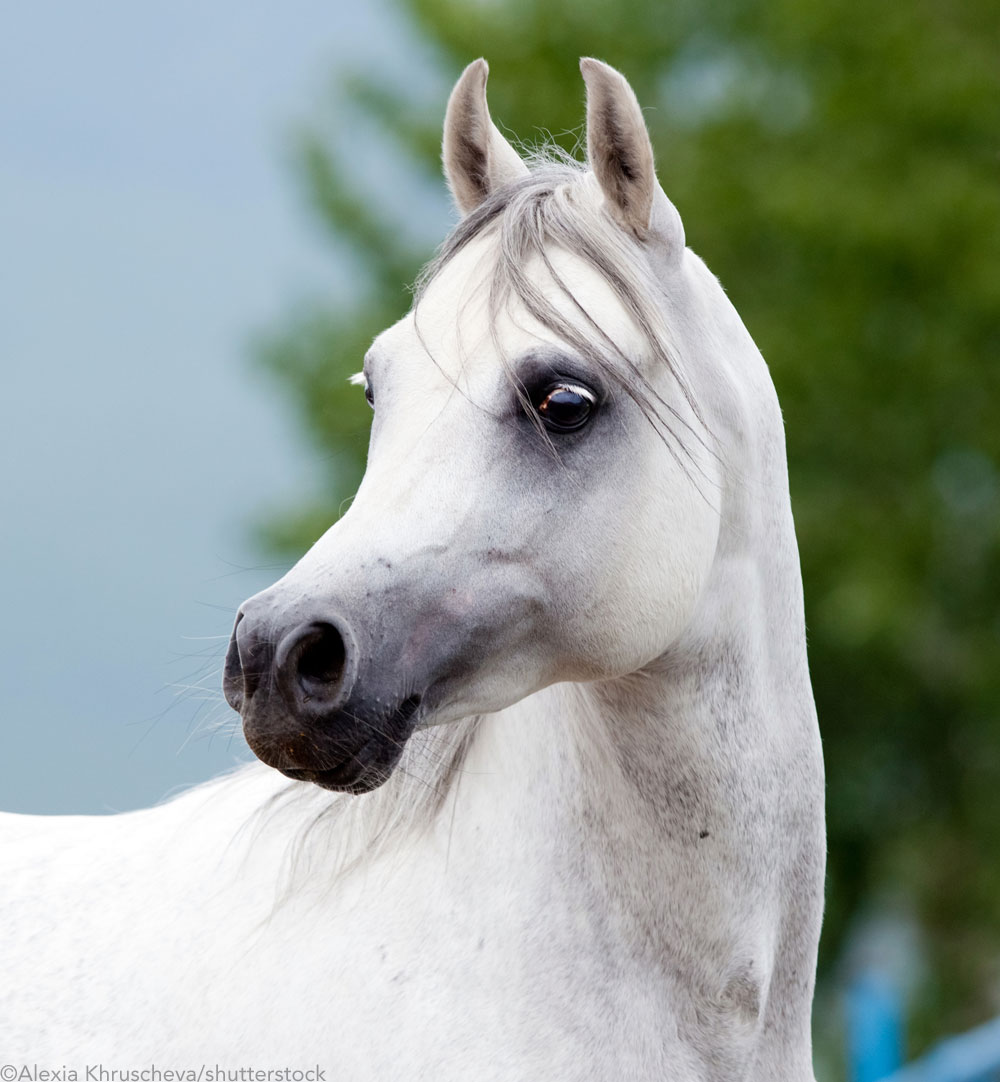 Gray Arabian horse face profile