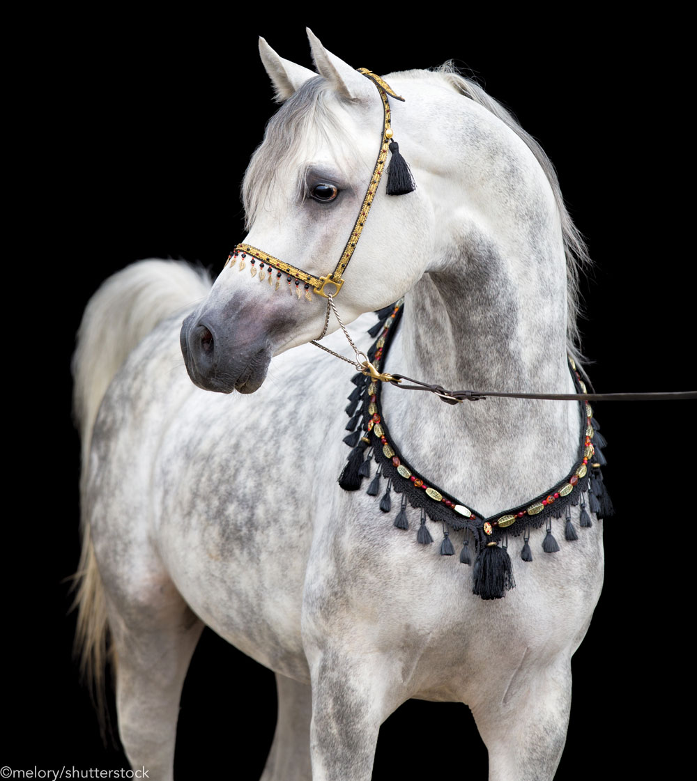 Gray Arabian horse in breed tack