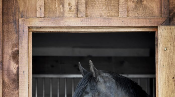 Black horse looking out through a stall window