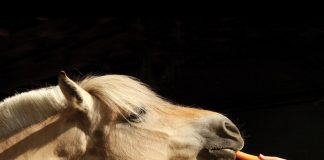 Fjord horse eating a carrot