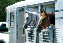 Horses in a trailer