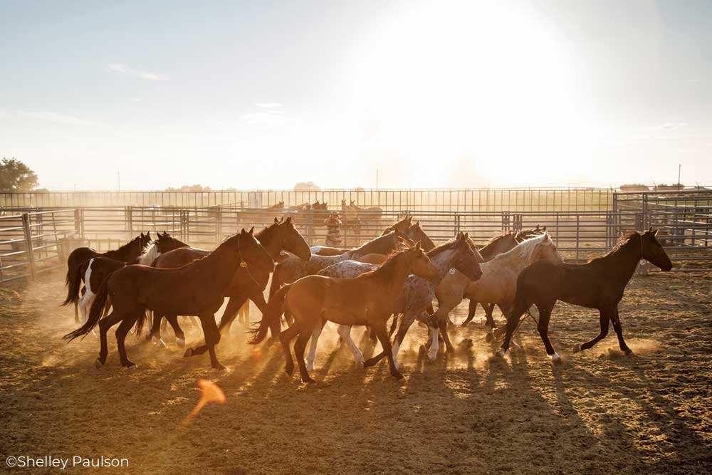 BLM Mustangs in a corral