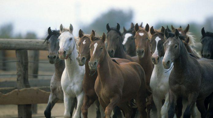 Herd of BLM Mustangs