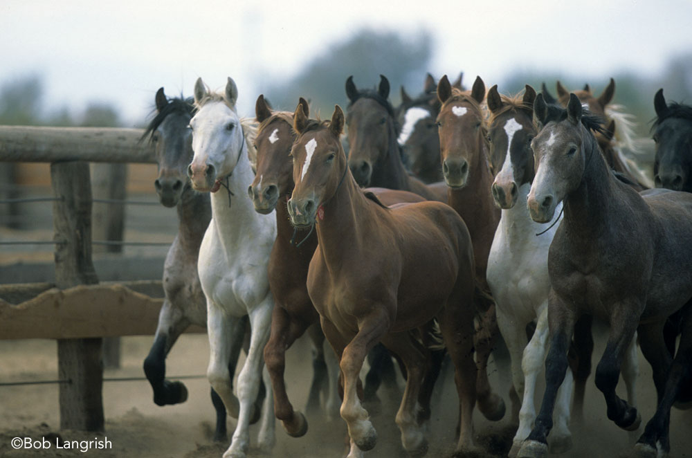 Herd of BLM Mustangs
