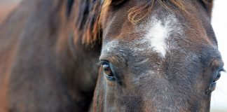 Closeup of a senior horse's face