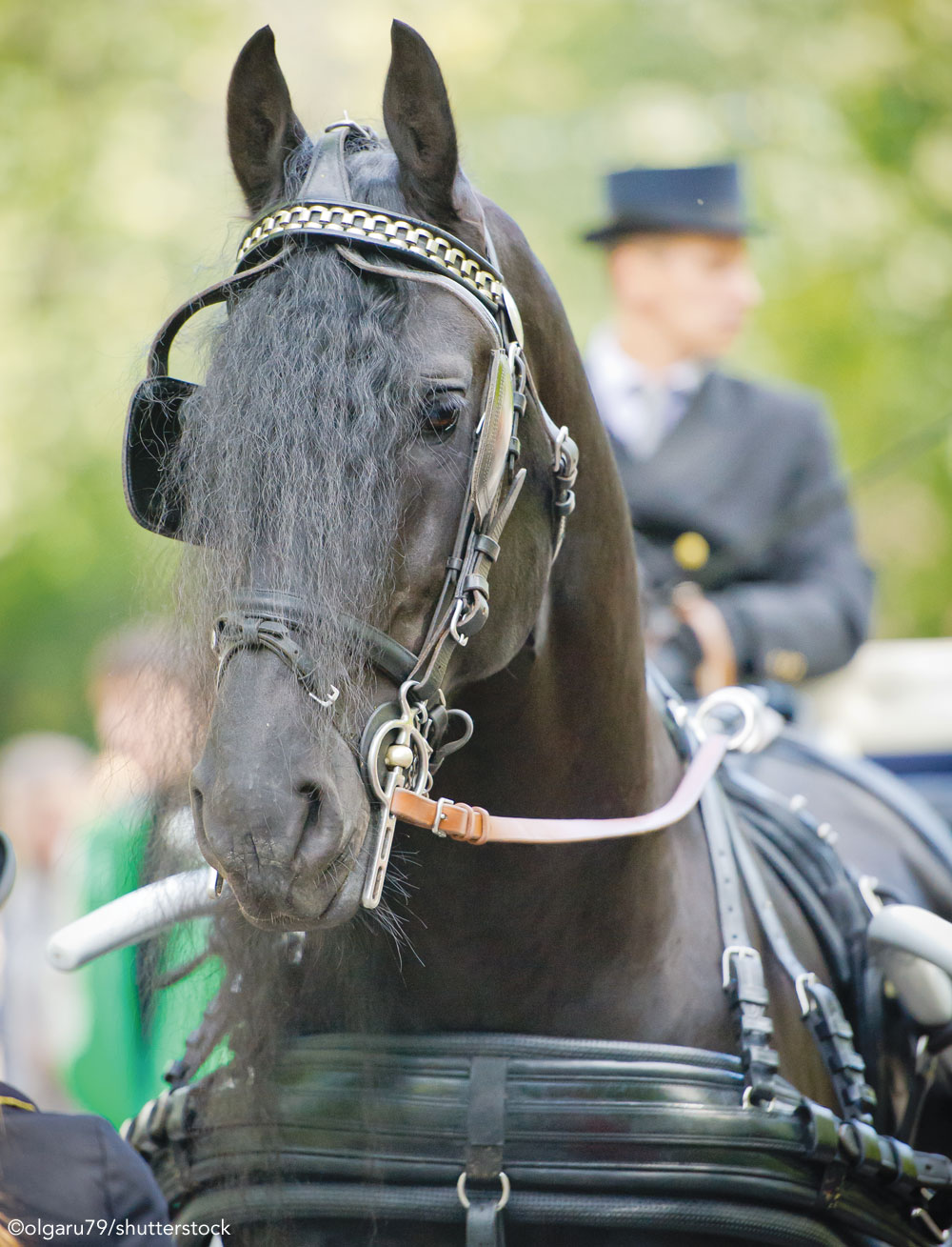 Friesian horse pulling a carriage