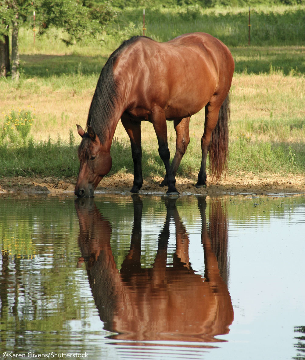 Horse drinking from a pond