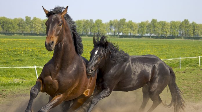 Two horses running in a paddock
