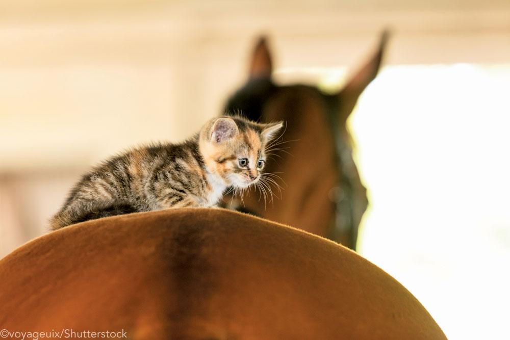 Kitten riding a horse