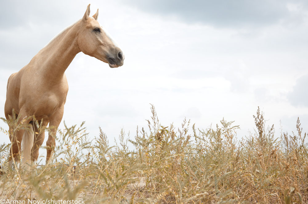 Palomino horse in a field