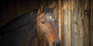 Senior horse in a barn