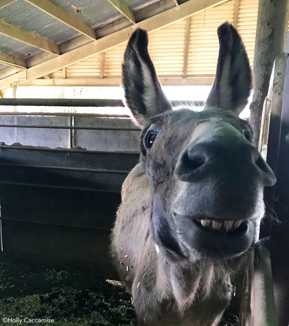 BLM burro at Return to Freedom Sanctuary
