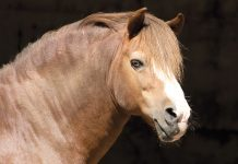 Pony with a cresty neck