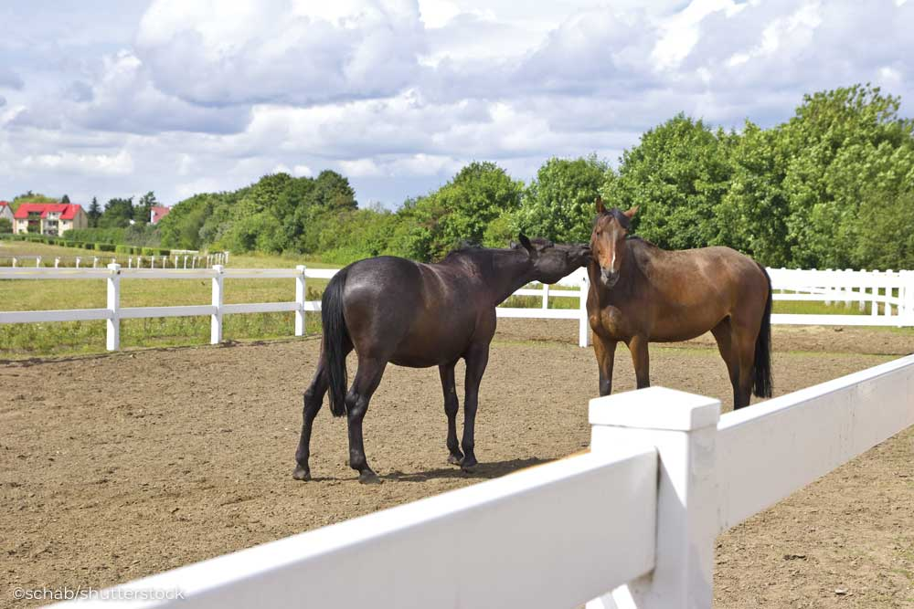 Horses in a drylot surrounded by PVC fencing