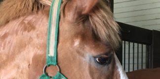 Flickers the rescued Belgian horse