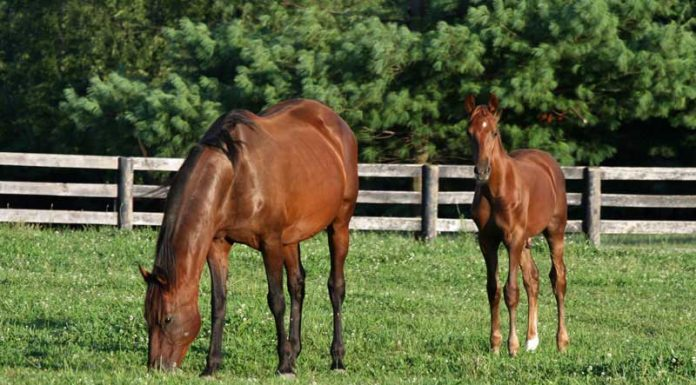 Saddlebred mare and foal