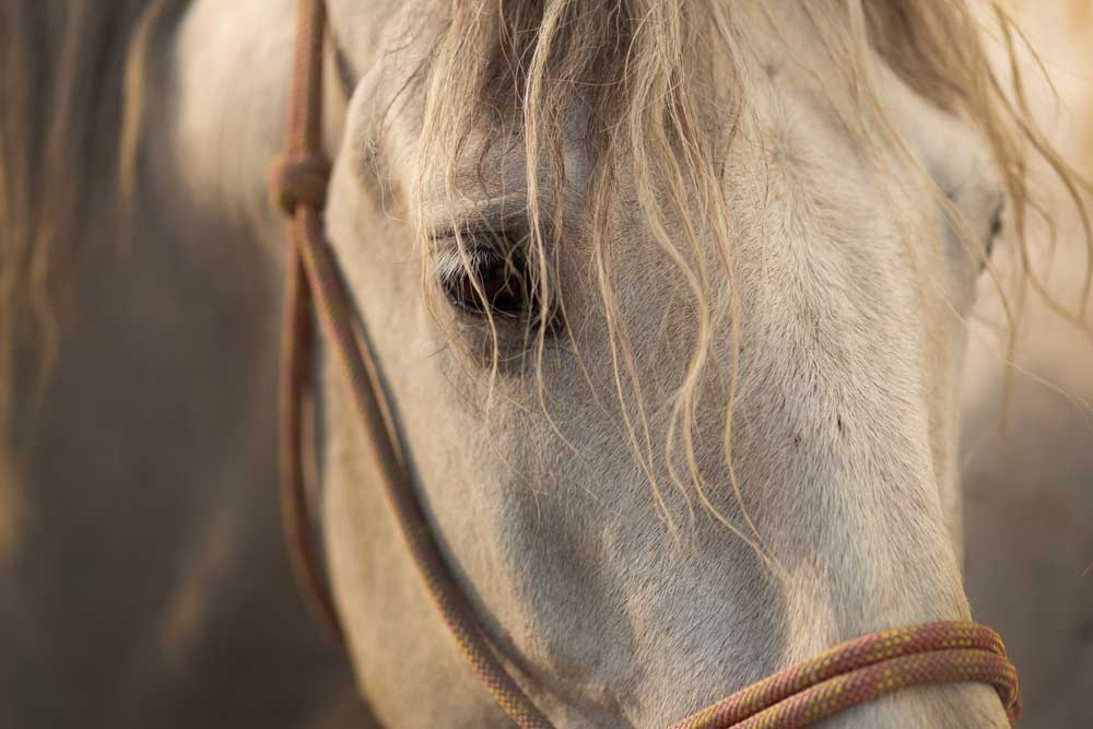 Closeup of a gray horse in a rope halter