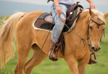 Palomino horse in western tack.