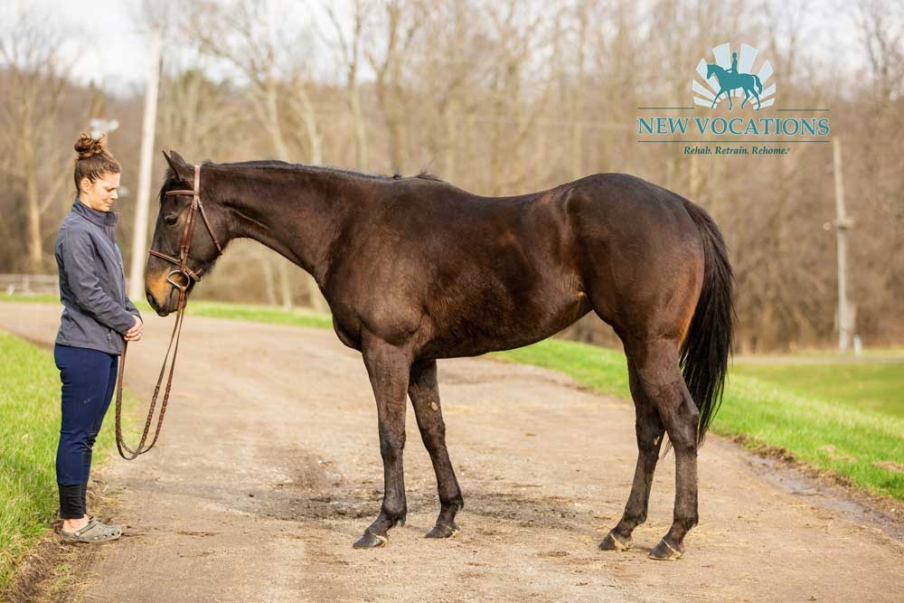 American Louvre, an adoptable Thoroughbred mare at New Vocations in Medina, Ohio