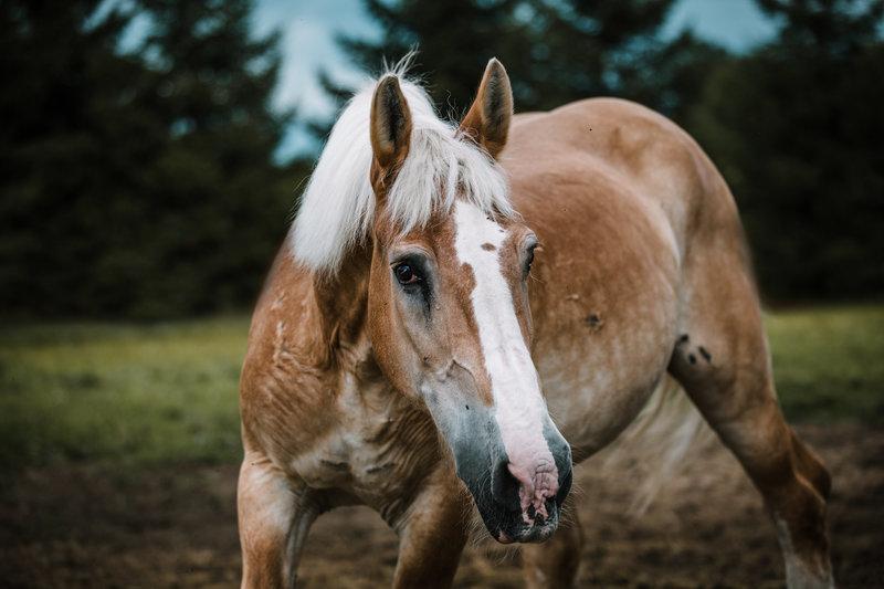 Barney, an adoptable Belgian draft horse gelding