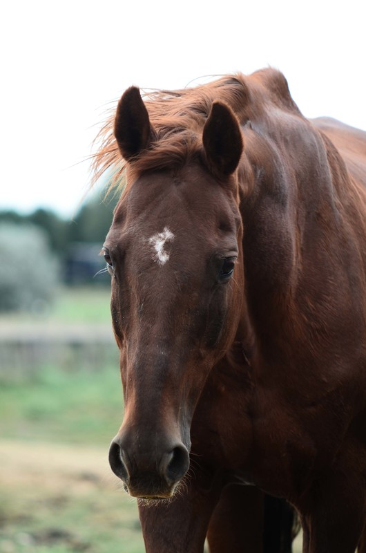 Charlee, an adoptable Thoroughbred mare